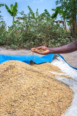 African Rice (Oryza glaberrima) harvested and being stored in piles, Uganda, Africa
