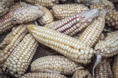 Maize (Zea mays) plant harvested and drying out after harvest, Uganda, Africa
