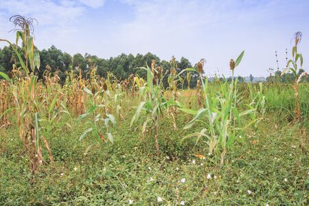 Mixed crop farming of Finger millet (Eleusine coracana) and Maize (Zea mays) plants growing in an agricultural field with people harvesting the crop, Uganda, Africa 写真素材
