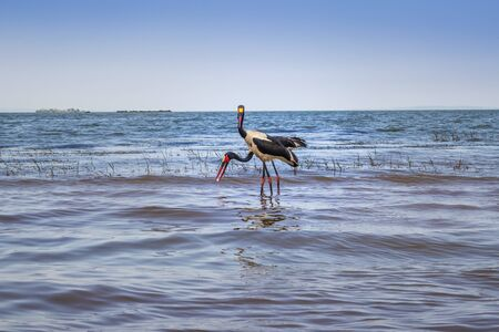 Male and female saddle-billed stork (Ephippiorhynchus senegalensis) eating a fish on the shore of Lake Victoria, Entebbe, Uganda, Africa 免版税图像