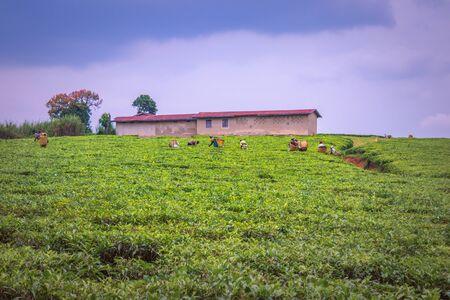 View workers harvesting in a tea (Camellia sinensis) plantation, Rweteera, Fort Portal, Uganda, Africa
