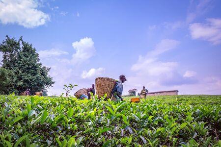 View workers harvesting in a tea (Camellia sinensis) plantation, Rweteera, Fort Portal, Uganda, Africa Stockfoto
