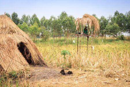 African Rice (Oryza glaberrima) plants growing in an agricultural field with people harvesting the crop, Uganda, Africa
