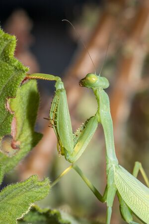 Green Praying Mantis sitting on a green leaf, Cape Town, South Africa