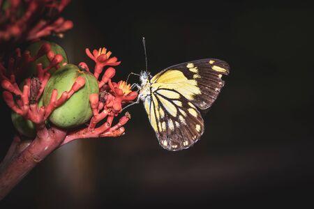 Brown-veined yellow and white butterflies (Belenois aurota) sitting resting on wild flowers, Ishasha, Uganda, Africa