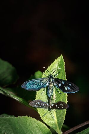Two Heady Maiden moths (Amata kuhlweini) mating, Uganda, Africa
