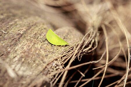 Green katydid (Tettigoniidae) sitting on a dry bark, Uganda, Africa