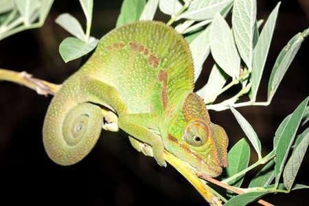 Panther chameleon (Furcifer pardalis) lying on a tree branch, Ankarana Special Reserve, Madagascar