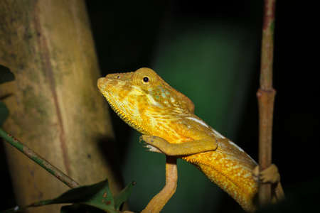 Panther chameleon (Furcifer pardalis) lying on a tree branch, Ankarana Special Reserve, Madagascar Stock Photo