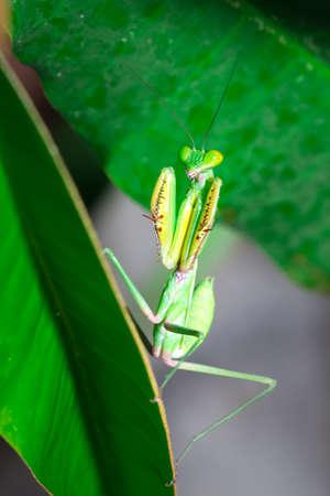 Green Praying Mantis cleaning itself, Nosy Komba, Madagascar