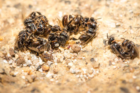 Swarm of sweat bees fighting eachother, Nosy Komba, Madagascar