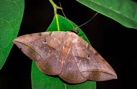 Beautiful Brown Moth sitting resting, Nosy Komba, Madagascar