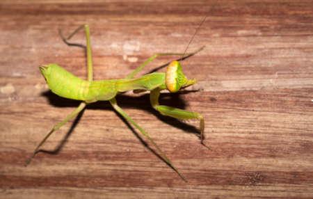 Green female Praying Mantis cleaning itself, Nosy Komba, Madagascar