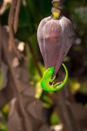 Giant day gecko (Phelsuma grandis) licking a banana tree flower, Nosy Komba, Madagascar