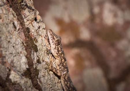 Common house gecko (Hemidactylus spp) lying on a tree branch, Nosy Komba, Madagascar Stock Photo