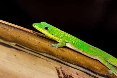 Gold dust day gecko (Phelsuma laticauda) lying on a banana tree branch, Nosy Komba, Madagascar