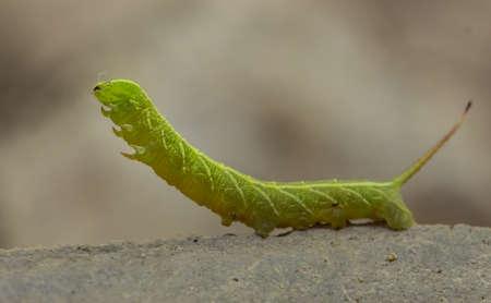 Yellow and green stripped spine caterpillar hunting, Amazon jungle, Peru
