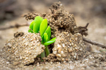 Little green plant sprouting through the soil, Kruger National Park, South Africa