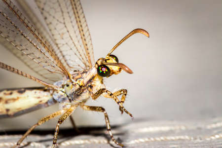 Adult Antlion lace wing (Myrmeleontidae) sitting cleaning itself, Kruger Park, South Africa