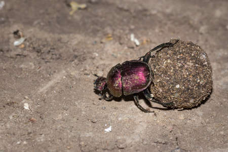 Plum Dung Beetle (Anachalcos convexus) sitting on a dung ball, Kruger National Park, South Africa