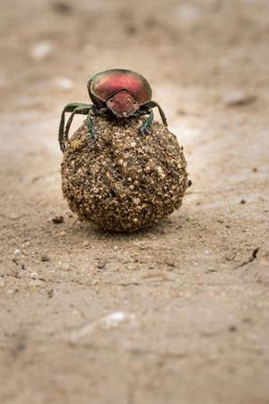 Plum Dung Beetle (Anachalcos convexus) sitting on a dung ball, Kruger National Park, South Africa Banque d'images