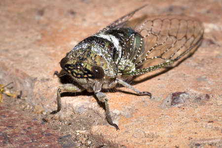 Green and white spotted Cicada beetle (Cicadidae), Kruger National Park, South Africa Stock Photo