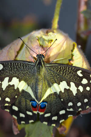 Citrus swallowtail Butterfly (Papilio demodocus) sitting on a branch resting, South Africa Stock Photo