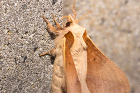Hairy Skewbald brown and white moth, South Africa Stock fotó