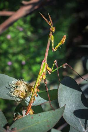 Green Gargoyle, cone-headed (empusa guttula) Praying Mantis on a green flower, South Africa