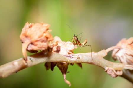 Tiny Brown Praying Mantis Nymph hunting for prey, South Africa