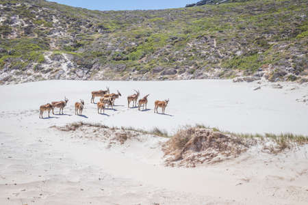 A herd of Common Eland (Taurotragus oryx) walking up a Sandy beach dune along the Cape coastline, Cape Point National Park, Cape Town, South Africa Stock Photo