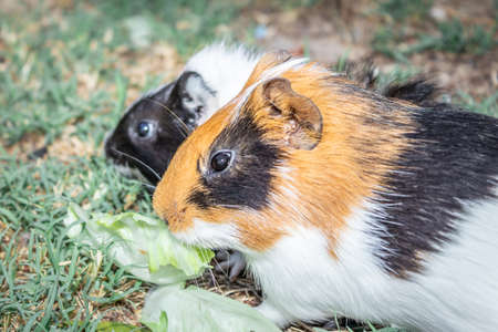 Domestic guinea pigs (Cavia porcellus) eating vegetables on a grass lawn, Cape Town, South Africa