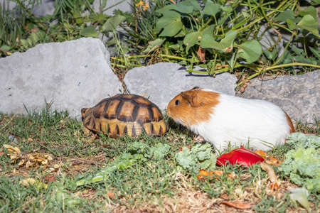 Leopard tortoise (Stigmochelys pardalis) and Domestic guinea pigs (Cavia porcellus) on a green lawn eating vegetables, Cape Town, South Africa 版權商用圖片
