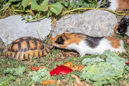 Leopard tortoise (Stigmochelys pardalis) and Domestic guinea pigs (Cavia porcellus) on a green lawn eating vegetables, Cape Town, South Africa