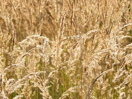 meadow  grass: Meadow prado de hierba en la luz del sol
