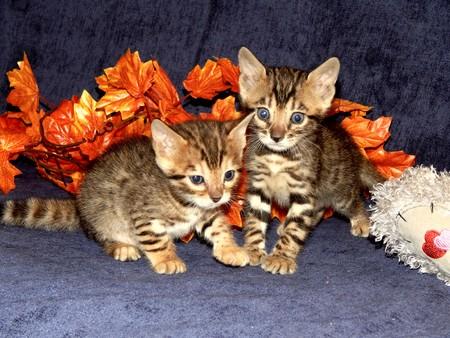 http://us.123rf.com/450wm/avatap/avatap1504/avatap150400019/39328903-Бенгальские-котята-маленькие.jpg