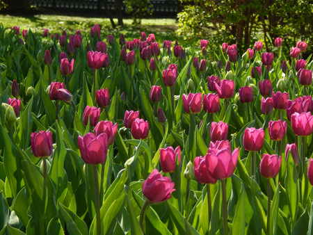 A flower bed of tulips city photo