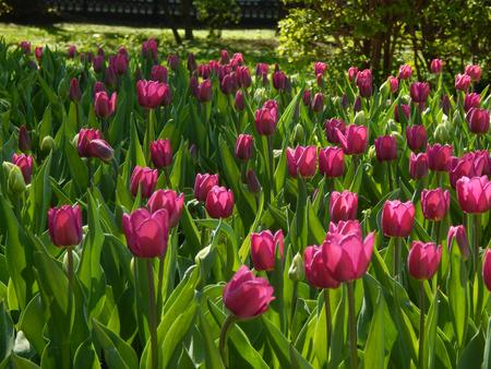 http://us.123rf.com/450wm/avatap/avatap1505/avatap150500008/39890642-a-flower-bed-of-tulips-city.jpg