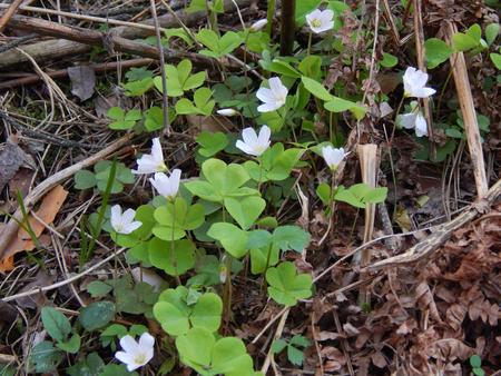 wood sorrel: Alaz�n de madera con flores blancas