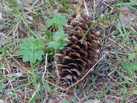 spruce: Cone spruce on earth Stock Photo