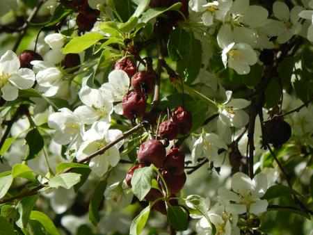 http://us.123rf.com/450wm/avatap/avatap1505/avatap150500051/40080025-flowers-cherry-with-berries.jpg