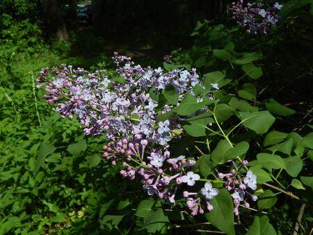http://us.123rf.com/450wm/avatap/avatap1505/avatap150500122/44564956-Зеленый-ветвь-с-весны-сиреневые-цветы.jpg