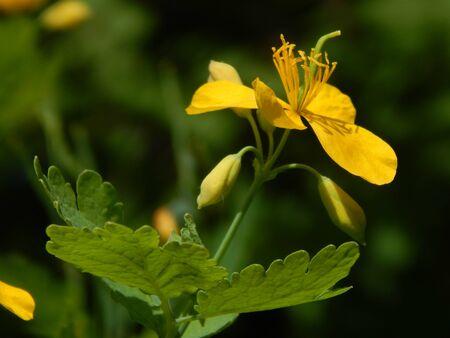 http://us.123rf.com/450wm/avatap/avatap1505/avatap150500134/40631098-flower-celandine.jpg