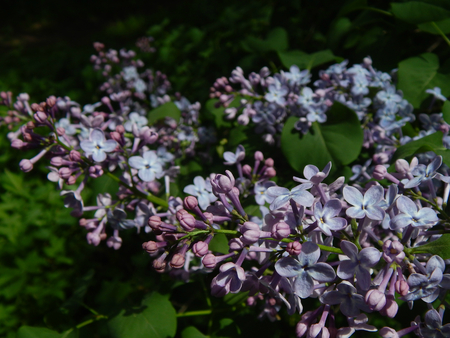 http://us.123rf.com/450wm/avatap/avatap1505/avatap150500146/40565716-macro-of-lilac-flowers.jpg