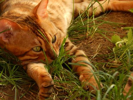 http://us.123rf.com/450wm/avatap/avatap1506/avatap150600001/40927043-Бенгальская-кошка-мысль.jpg