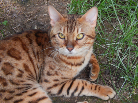 http://us.123rf.com/450wm/avatap/avatap1506/avatap150600002/40927045-Бенгальская-кошка-с-цветом-золота-outlet.jpg