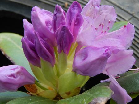 musique: Flowers magnolia Stock Photo