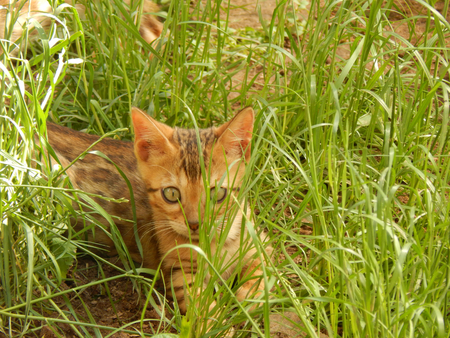 furred: Bengal kitten hiding in the grass