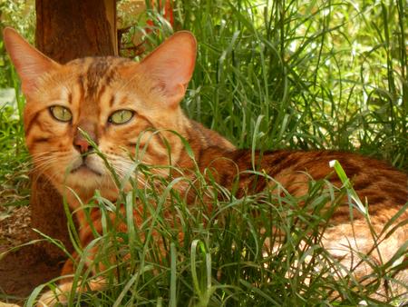 http://us.123rf.com/450wm/avatap/avatap1506/avatap150600040/40979705-Бенгальская-кошка.jpg