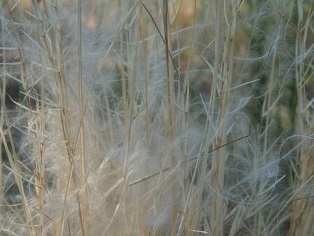 cockscomb: feather grass